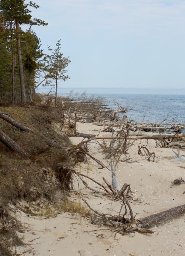 Старые деревья кладя на seashore в Латвии стоковые фото