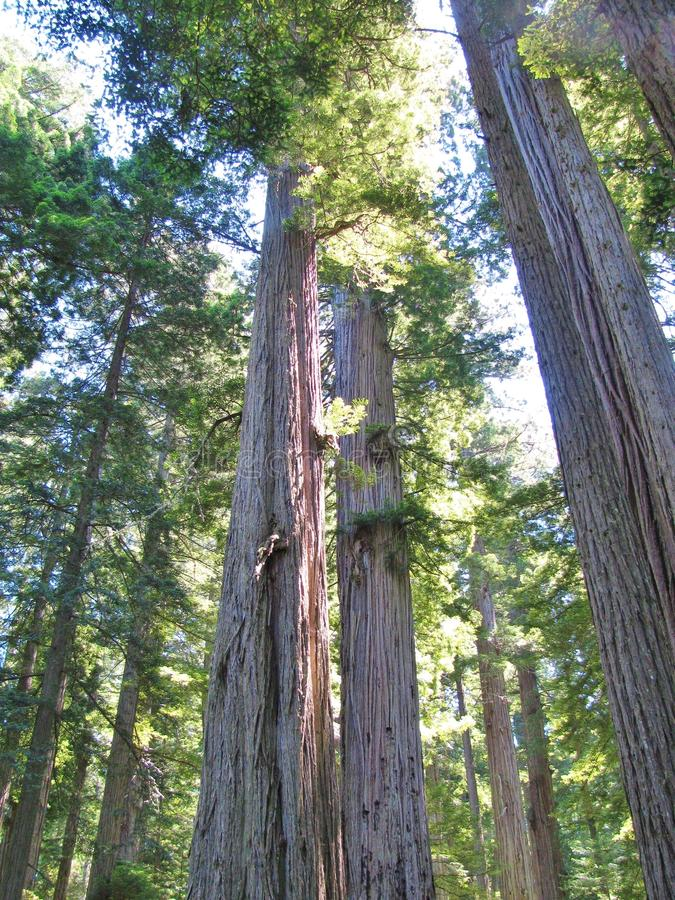 Старые деревья redwood поднимают к небу на сценарной даме Птице Джонсоне Роще около Orick, Калифорнии стоковое фото