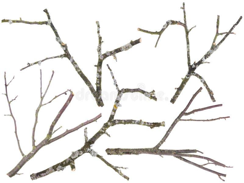 Старые изолированные ветви дерева яблока и вишен стоковые фотографии rf