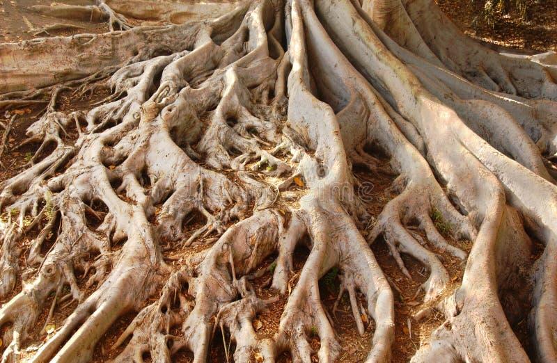 Старые корни смоковницы залива Moreton в парке бальбоа стоковые фотографии rf