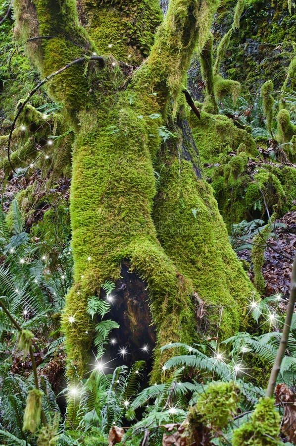Старые мшистые деревья клена в лесе с феями стоковая фотография