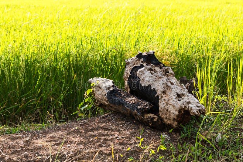 Старые пни выветренные на грязи в рисовых полях стоковые изображения