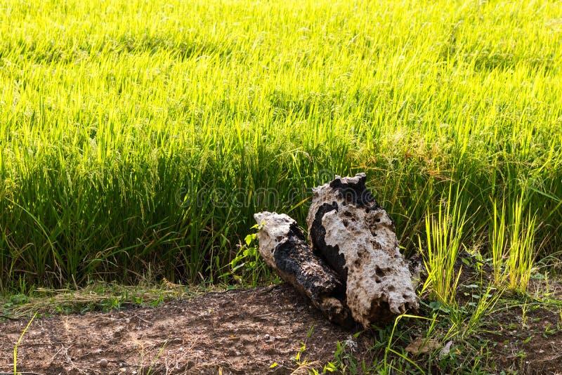 Старые пни выветренные на грязи в рисовых полях стоковые фото