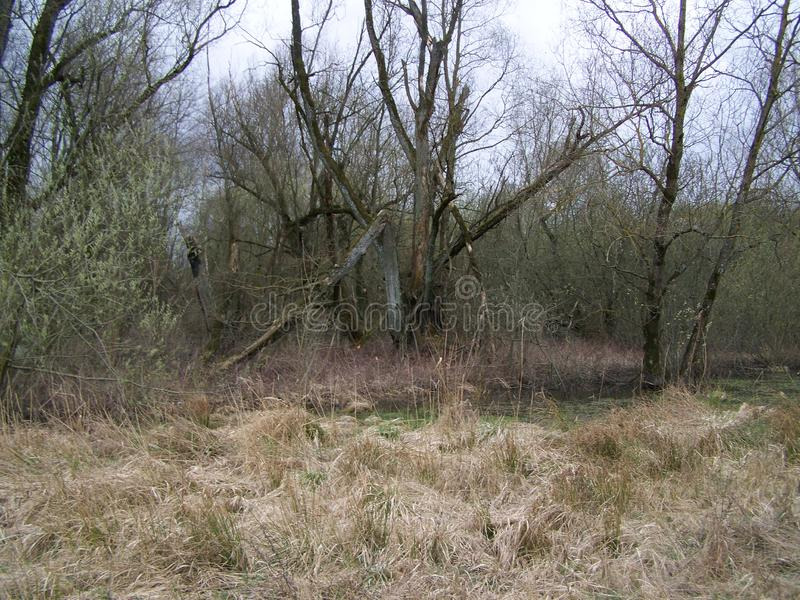 Старые сухие деревья в болоте стоковое фото rf
