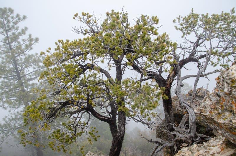 Старые сухие деревья растя на утесах гранд-каньона Предпосылка густого тумана аристочратов стоковая фотография