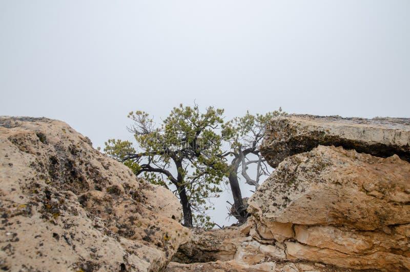 Старые сухие деревья растя на утесах гранд-каньона Предпосылка густого тумана аристочратов стоковое изображение
