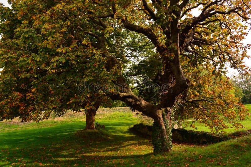 Старый большой дуб в осени на замке Carisbrooke, Ньюпорте, острове Уайт, Англии стоковые изображения rf