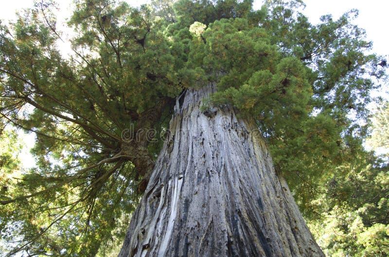 Старый большой redwood стоковая фотография