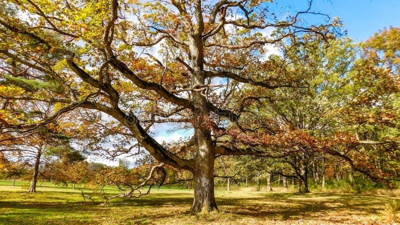 Старый дуб на красивый день в осени стоковые изображения
