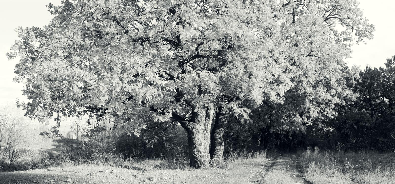 Старый дуб осеннего леса стоковые фотографии rf