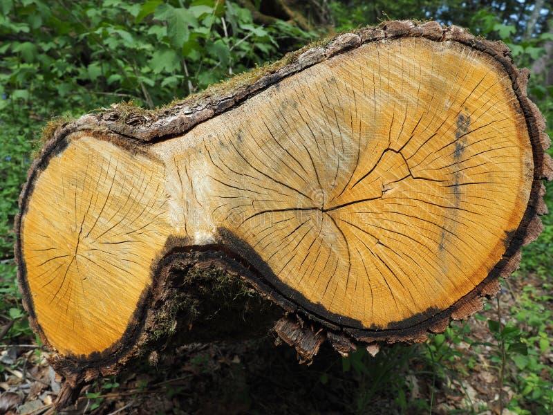 Старый дуб отрезанный в парке стоковые фотографии rf