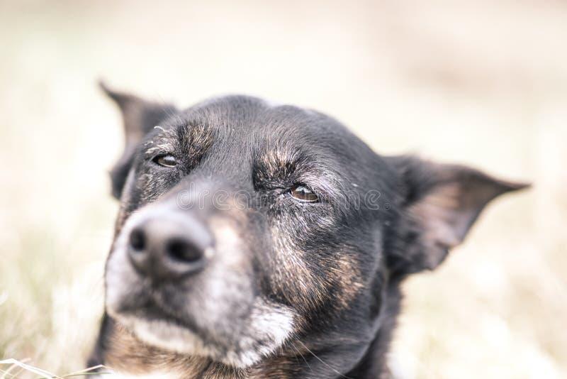 Старый и больной умирать собаки рака стоковые изображения