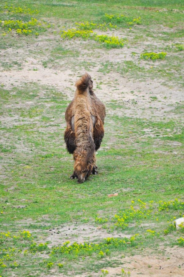 Download Старый и молодой верблюд стоковое фото. изображение насчитывающей природа - 33725654