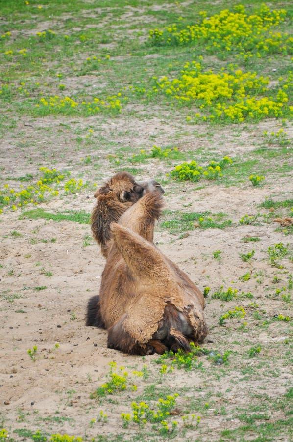 Download Старый и молодой верблюд стоковое фото. изображение насчитывающей перевозка - 33725720