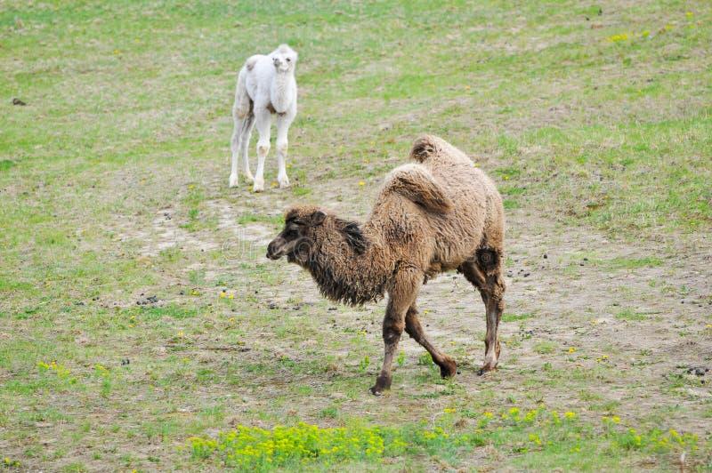 Download Старый и молодой верблюд стоковое изображение. изображение насчитывающей природа - 33725855