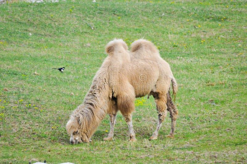 Download Старый и молодой верблюд стоковое изображение. изображение насчитывающей mammal - 33725925