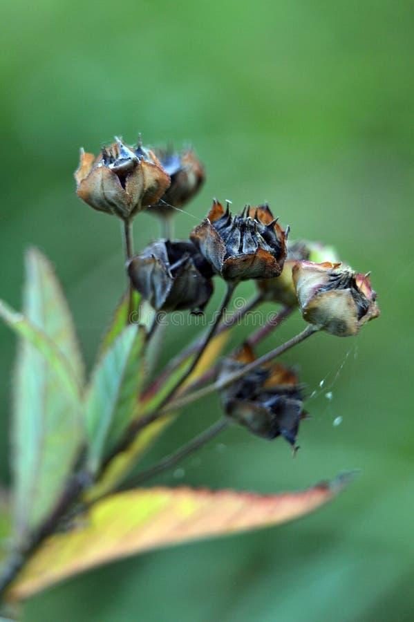 Старый и сухой Sida Rhombifolia l семя стоковые фото