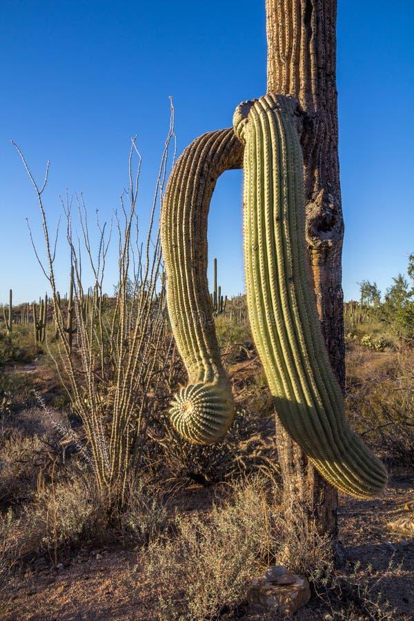 Старый кактус Saguaro с переплетенными лимбами стоковое изображение rf