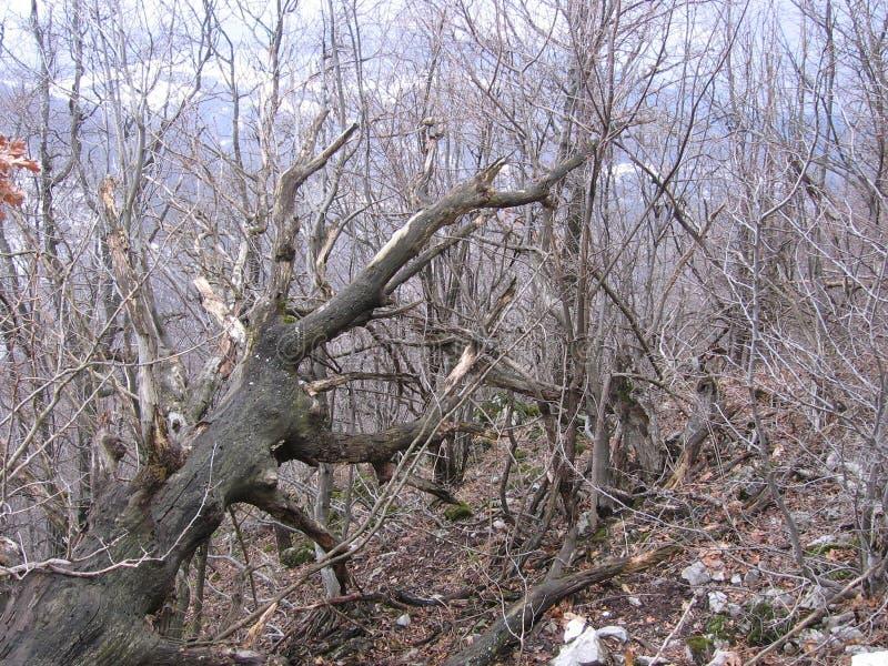 Старый лес около Grza стоковое фото rf