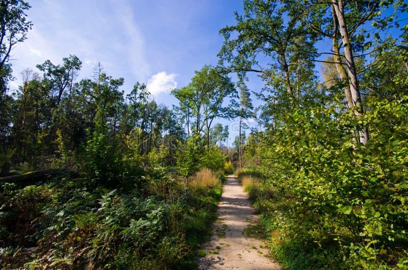 Старый лес Bialowieza - Польша стоковое фото rf