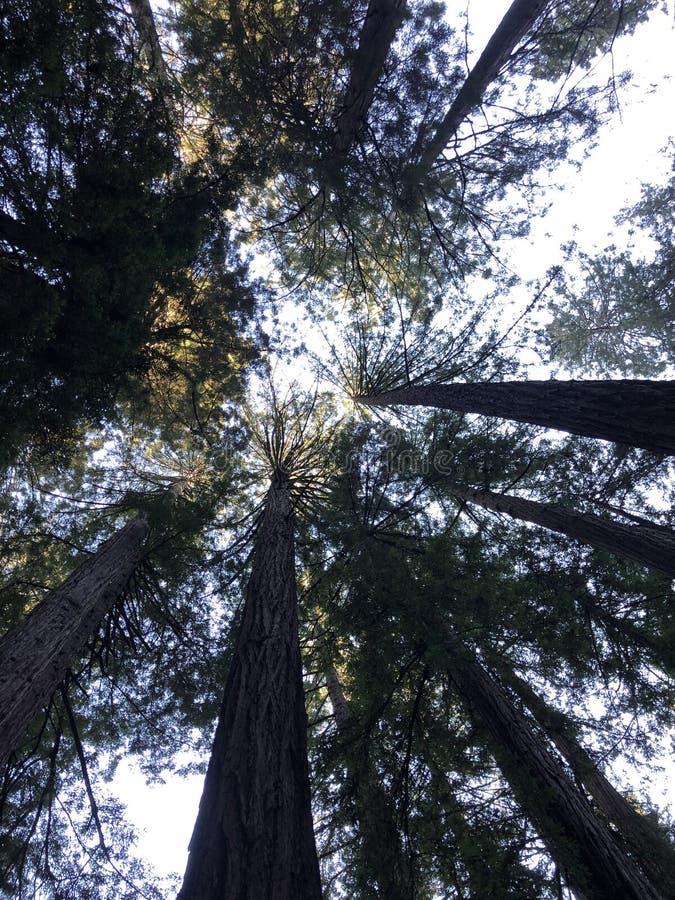 Старый лес Redwood стоковые изображения rf