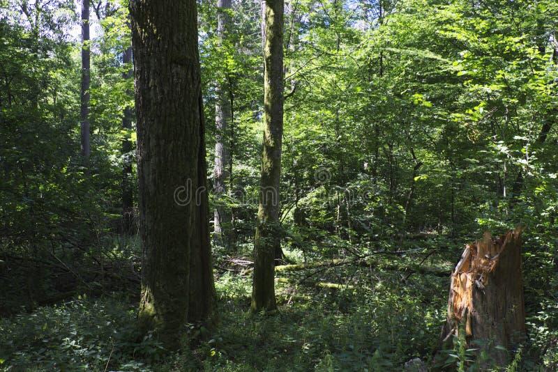 Старый лиственный лес в полдне лета стоковое фото rf