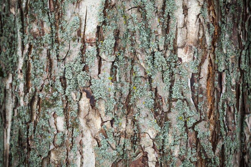Старый макрос коры дерева, естественная предпосылка стоковые фото