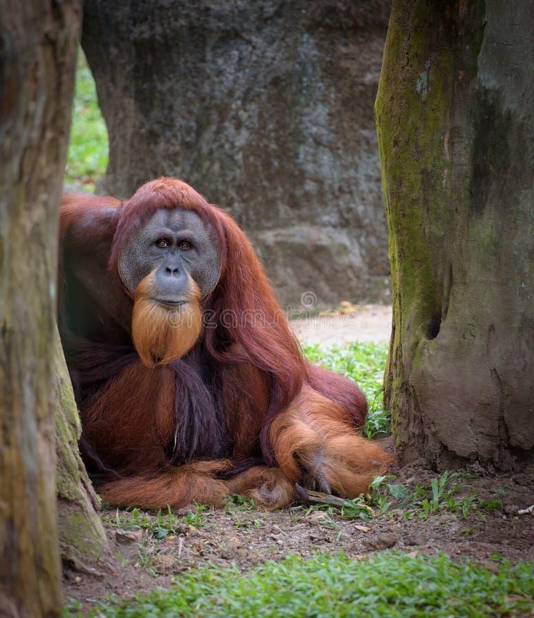 Старый мудрый орангутан стоковое изображение rf