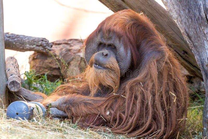 Старый орангутан стоковые фотографии rf