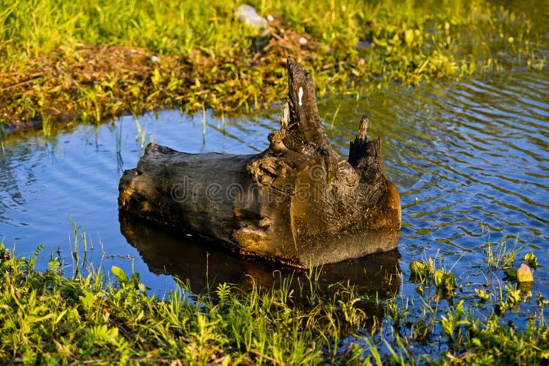 Старый пень в воде стоковая фотография