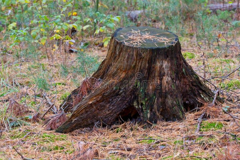 Download Старый пень в лесе иглы стоковое изображение. изображение насчитывающей outdoors - 41656135