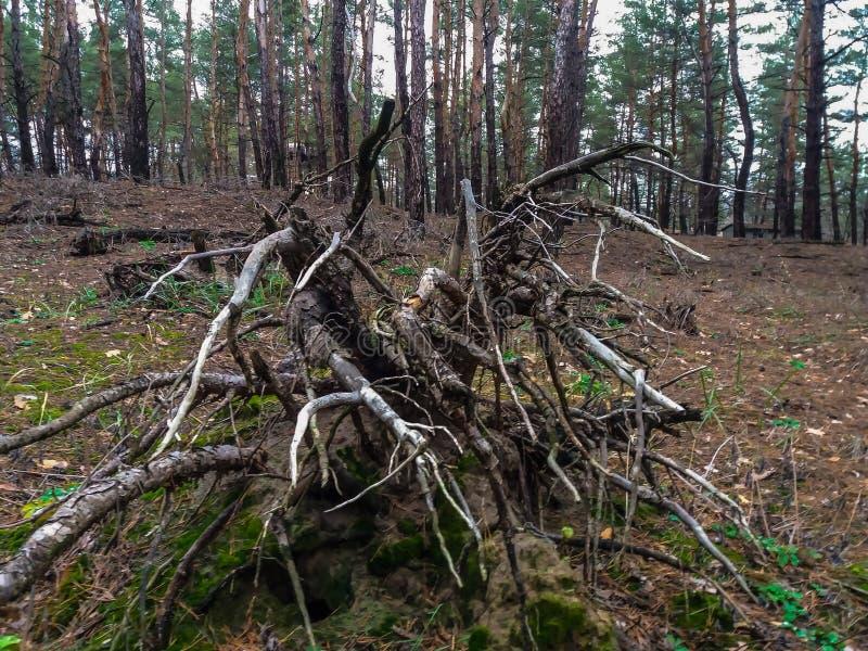 Старый пень, по мере того как осьминог расчехлил, обернул камни с сухими корнями стоковые изображения rf