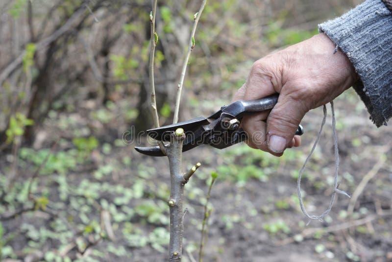Старый садовник подготавливая ветвь яблони для прививать с ножом Руки старика прививая фруктовые дерев дерев шаг за шагом стоковая фотография
