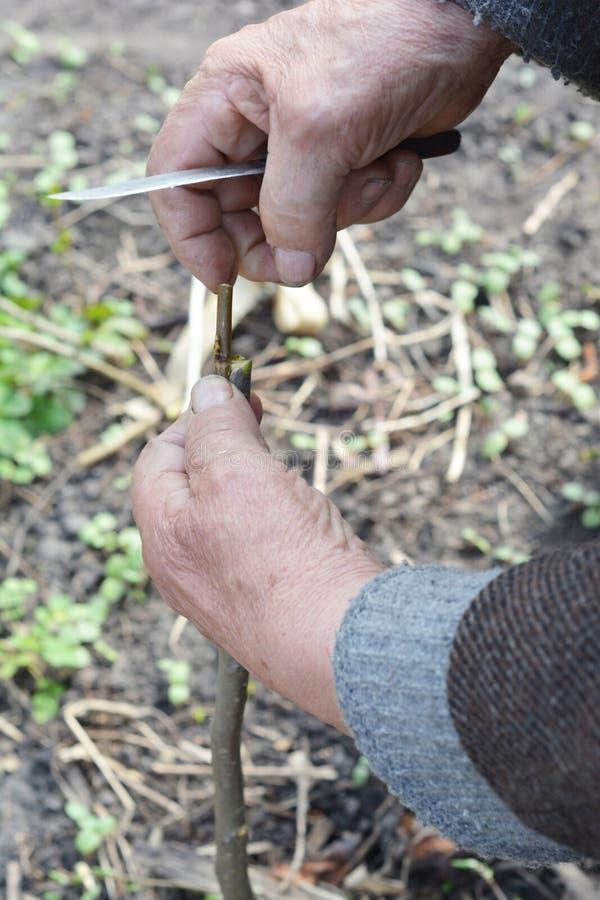 Старый садовник подготавливая ветвь яблони для прививать с ножом Шаг за шагом Прививать деревья стоковая фотография rf