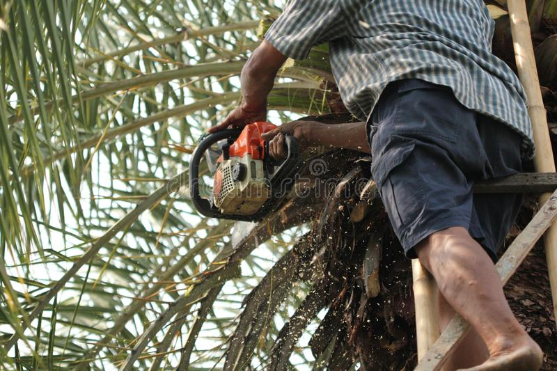 Старый садовник сильного человека использует сверхмощную цепную пилу пока уравновешивающ и режущ большие пальмы в садовничая рабо стоковые изображения rf