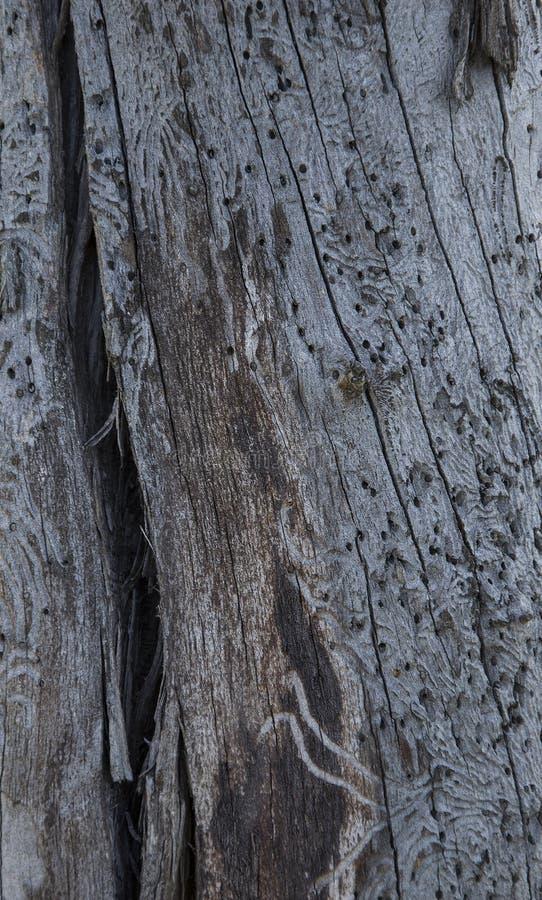 Старый ствол дерева, поврежденный деревянным жуком стоковые фото