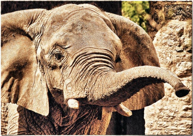 старый слон стоковое фото rf