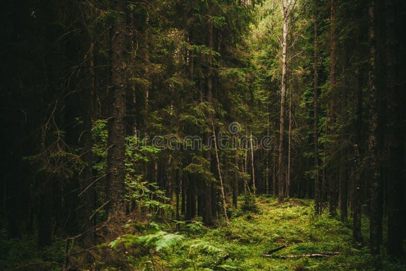 Старый темный ый-зелен лес летом стоковая фотография rf
