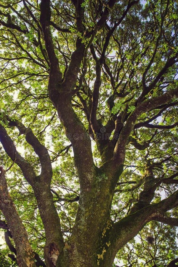 Старый дуб holm стоковое изображение rf