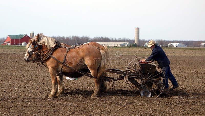 Старый фермер Амишей осеменяя его поля стоковые фотографии rf