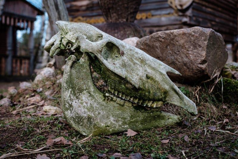 Старый череп быка лежа на том основании стоковая фотография rf
