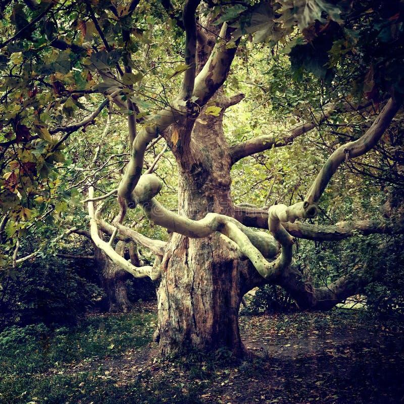 Старый явор дерева стоковое изображение rf