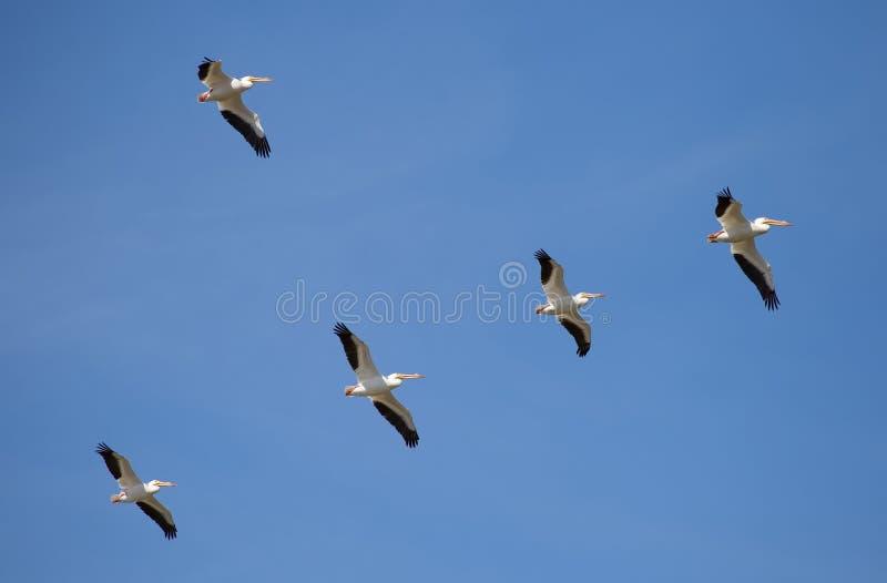 Стая белых пеликанов стоковое фото rf