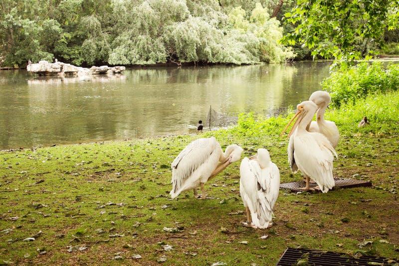 Стая белых пеликанов стоковая фотография rf