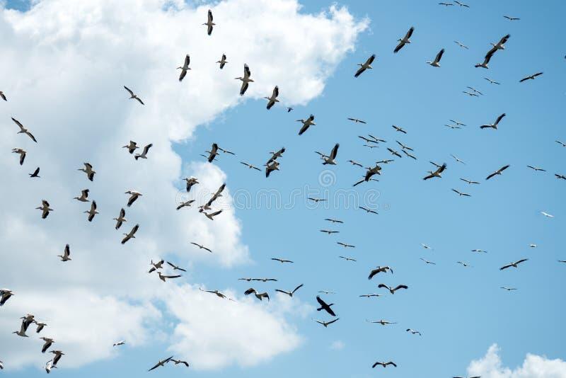 Стая больших белых пеликанов стоковое фото rf