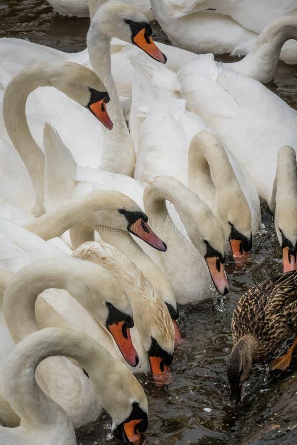 Стая лебедей стоковые изображения