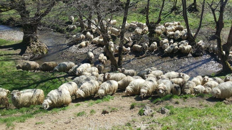 стая пася овец стоковая фотография rf
