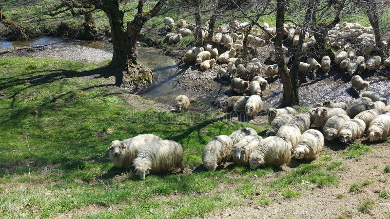 стая пася овец стоковые фото