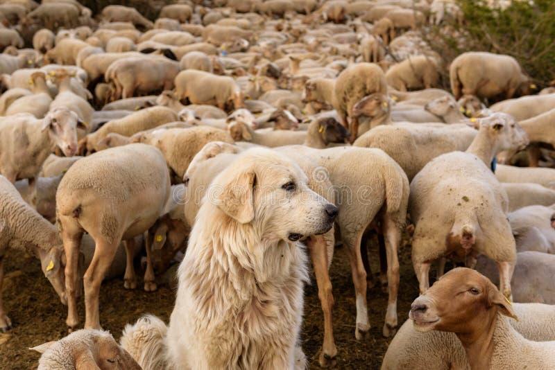 стая пася овец El более кислый, Canillo, Андорра стоковые фото