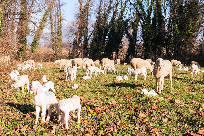 стая ягнится овцы стоковые фотографии rf